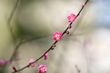 Japanese plum,Ume