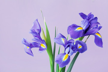 Greeting card with spring iris flowers.