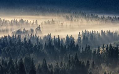 Iglasty las spowity mgłą
