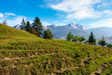spruce forest on grassy hillside in tatras