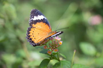 Colorful butterflie