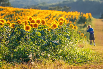 Sunflower field with man in background taking pictures