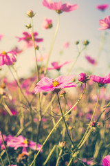 Field cosmos flower and sky sunlight with Vintage filter.