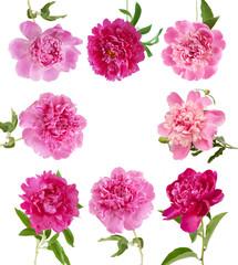Peony flower set isolated on white background. Peony flower frame