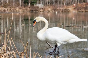Closeup of swan standing on frozen lake during winter