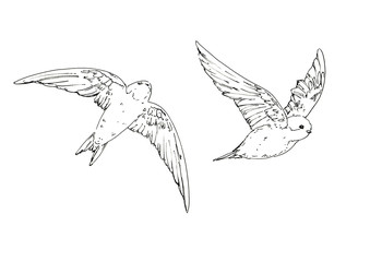 hand drawn set of graphic isolated bird swallow on white backgro