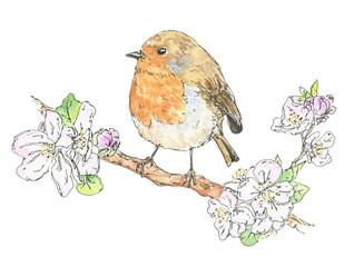 Watercolor European robin bird on cherry blossom on white backgr