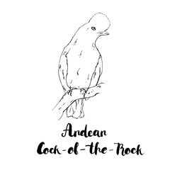 hand drawn watercolor isolated bird Andean Cock of the Rock with