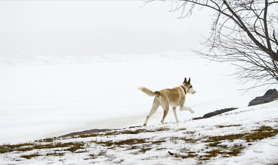Running dog in beautiful winter landscape with fog on lake