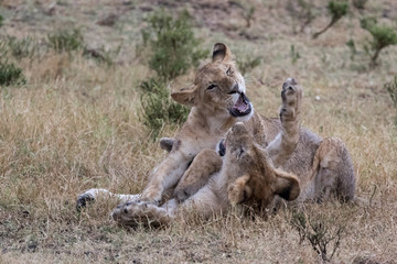 Lion cubs playing in golden grass.