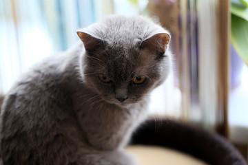 Взгляд хмурой недовольной серой кошки