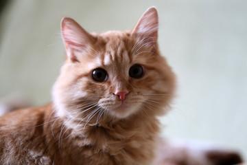 Домашний рыжий кот