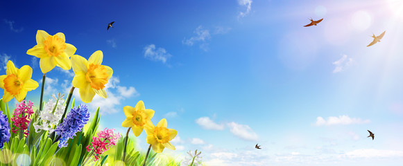 Deurstickers Narcis Spring And Easter Banner - Daffodils In The Fresh Lawn With Fly of Swallow