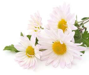 White chamomile.