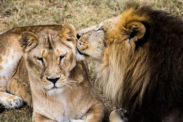 lions kiss