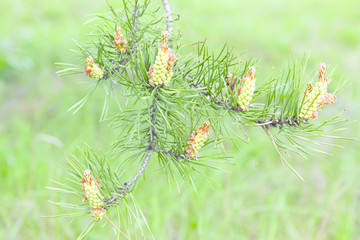 pine branch with cones in spring