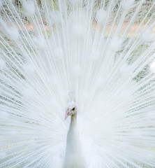 White albino indian peacock (Pavo cristatus) showing off tail, Florida, USA