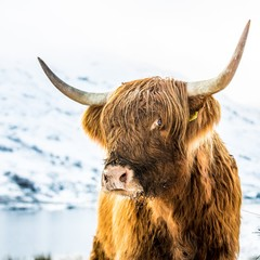 A Highland Cattle in Scotland.