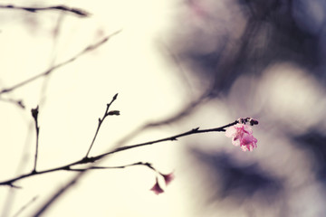 Beautiful Cherry Blossom or Sakura flower,soft focus and retro color toned.