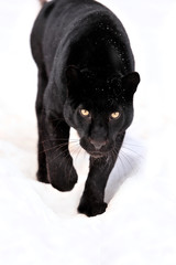 Printed roller blinds Panther Leopard portrait