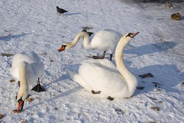 Swan on frozen river in winter photo.