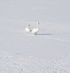 Swan on frozen river in winter photo.