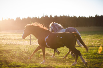 Two horses running in a field, British Columbia, Canada