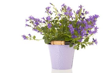 Campanula in flower pot