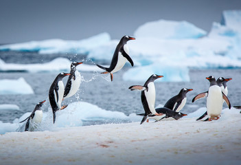 Penguins jumping out of the water.