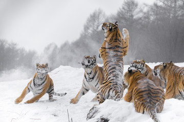 A pack of tigers in the snow.