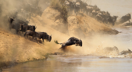 Wildebeest leaping into a river during a crossing.