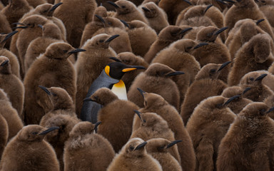 An adult penguin surrounded by young.