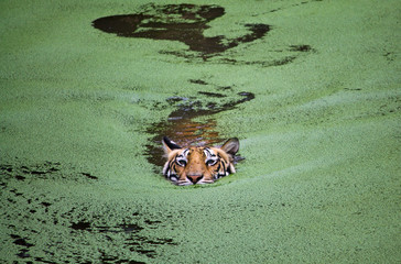 Tiger swimming in water with growing algae, Odisha, India