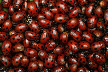 A pile of ladybugs.