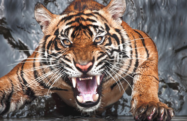 A Sumatran tiger (Panthera tigris sumatrae) baring its teeth