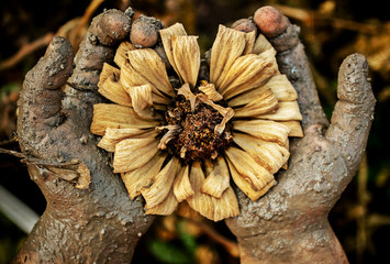 Close-up of muddy hands holding a dead flower.