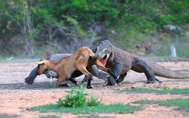 A pair of Komodo dragons hunting an antelope in Borneo, Indonesia.