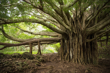 Massive Banyon Tree in Maui