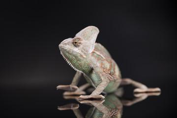 Chameleon lizard on black background