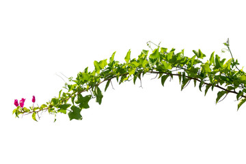 vine plants isolate on white background. clipping path