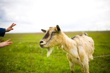 Adult red-haired goat grazing in a meadow.