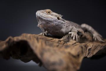 Dragon, Agama Lizard on black mirror background