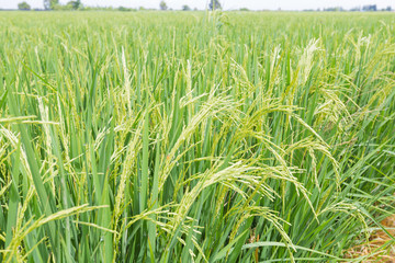 Rice in the rice fields