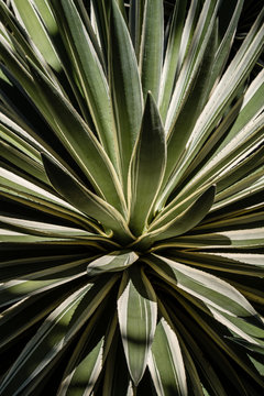 Closeup of beautiful green and white agave plant, pattern, texture and background