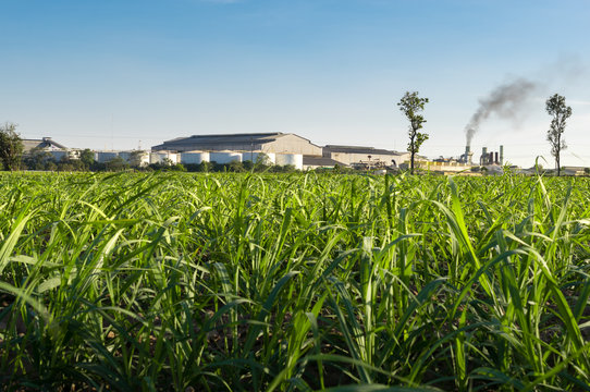 sugar factory with Sugar cane field nature background.
