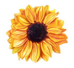 Watercolor yellow sunflower, hand painted on white background