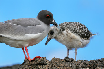 Swallow-tailed Gull with a chick on Genovesa island, Galapagos N