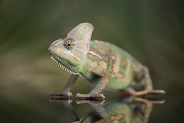 Chameleon lizard isolated on green background