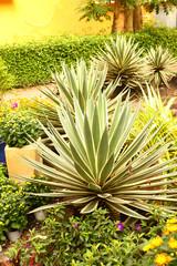 aloe succulent plant on vietnamese park