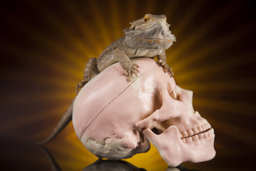 Human skull,Agama bearded, lizard background